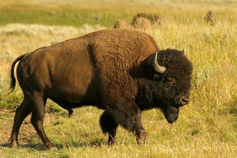 bison exploration  outdoors colorado