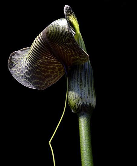 Arisaema griffithii