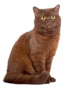 brown cat brown cat cats picture