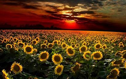 Sunflower Desktop Sunset Wallpapers