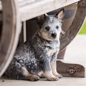 Australian Cattle Dog   Blue Heeler   Puppy   Dogs   dogs ...