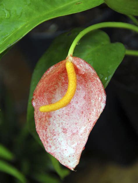 anthurium planter et entretenir ooreka