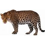 Leopard Freepngimg