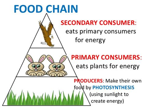 consumer secondary consumers primary chain eats energy photosynthesis