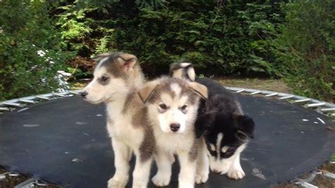 alaskan malamutealusky puppies  york north yorkshire gumtree
