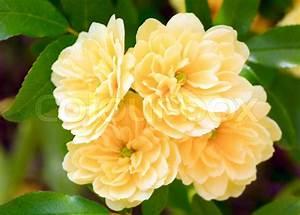 Busch Mit Gelben Blüten : sch ner fr hling strauch mit gelben blumen makro stockfoto colourbox ~ Frokenaadalensverden.com Haus und Dekorationen