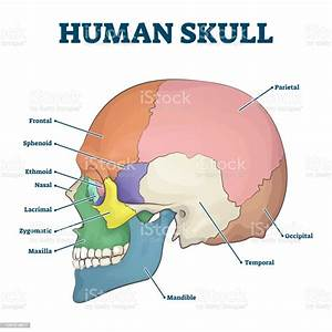 Human Skull Bones Skeleton Labeled Educational Scheme