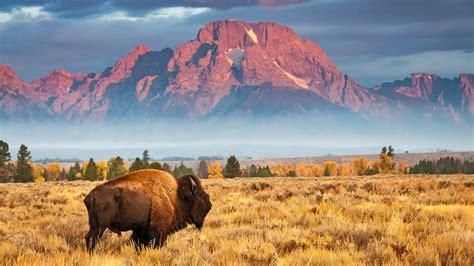 Big Bison - Bing Wallpaper Download