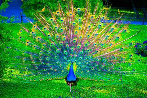 Hd Peacock Wallpaper