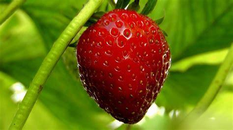comment cultiver des fraises en pot toutcomment