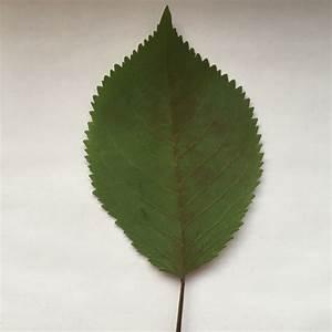 Was Ist Das Für Ein Baum : was ist das f r ein blatt auf dem bild biologie baum gr n ~ Watch28wear.com Haus und Dekorationen