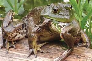 Invasive bullfrogs have moved into Creston - Creston ...