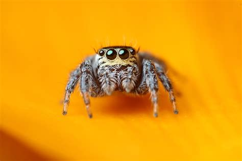 Jumping Spider Wallpaper, Os  Android Jumping Spider