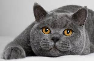 expensive cats top 12 most expensive cat breeds in the world vs