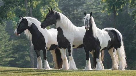 horse horses gypsy caballos vanner vanners paint amazing farm god type together christmas