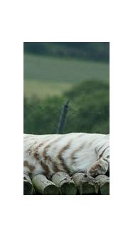 Bengal White Tiger Sleeping | Josh_Wolf | Flickr