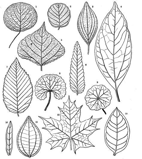botany professor   grass leaf   stripes