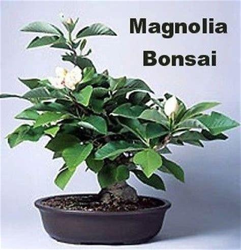 9greenbox southern magnolia grandiflora bonsai oudoors fragrant