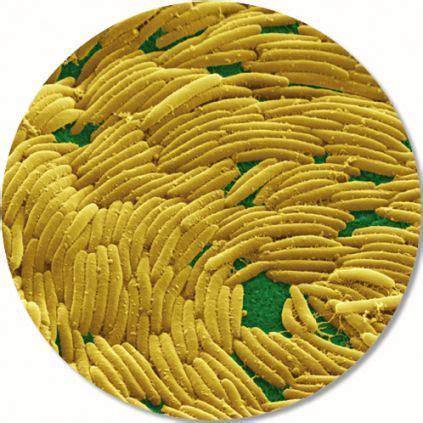 Klasifikacija Proteobacteria — Bionet Škola