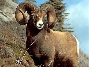 In an argument/fight who do you think would win: the ram ...