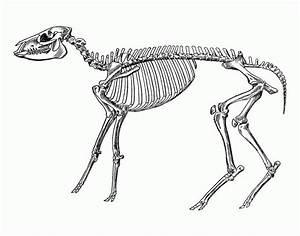 Sheep Skeleton Diagram
