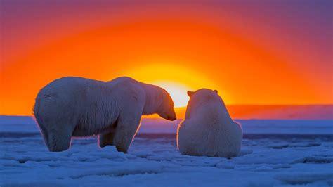 Polar Bears At Sunset Hd Wallpaper