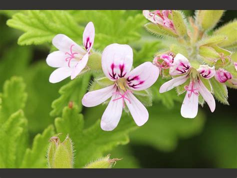 lemon scented geranium care breast cancer topic how about drinking