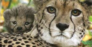 Half The World U0026 39 S Cheetahs Will Be Gone In 15 Years