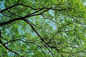 Essay Statement Of Purpose Neem Tree Essay In Gujarati Language English College Essay Mistakes Argumentative Essay Writing also Monroe Doctrine Essay Neem Tree Essay Human Resources Essay Neem Tree Essay In Urdu  Essays On Why I Want To Be A Nurse