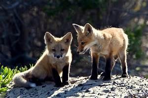 Red fox cubs - Fox Photo (24061108) - Fanpop