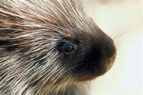 porcupine photo gallery