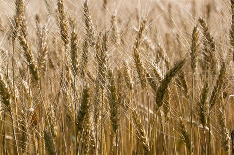 Take wheat and barley, beans and lentils, millet and spelt; Barley Bread For Sale / Organic Whole Grains For Sale ...