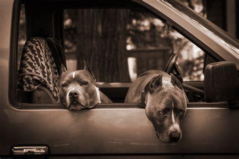 American Pit Bull Terrier Hd Wallpapers
