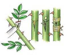 1000+ images about GARDENING: Pruning, grafting & other ...