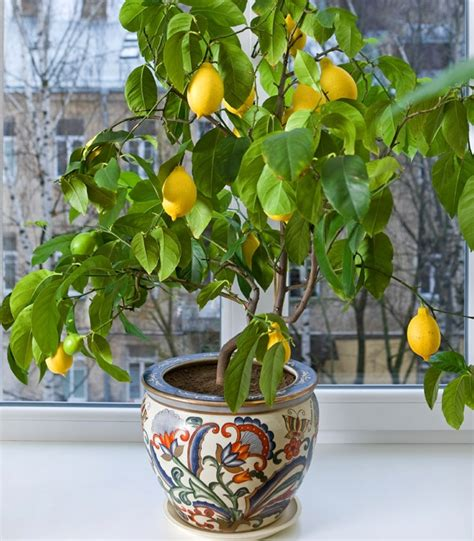 grow a lemon tree at your own backyard easy tips here