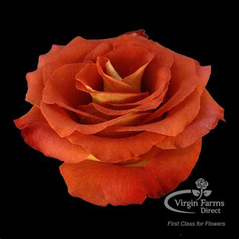 Сборка цветка диаметр 30 см. Coffee Break Rose - Virgin Farms - High Quality Roses