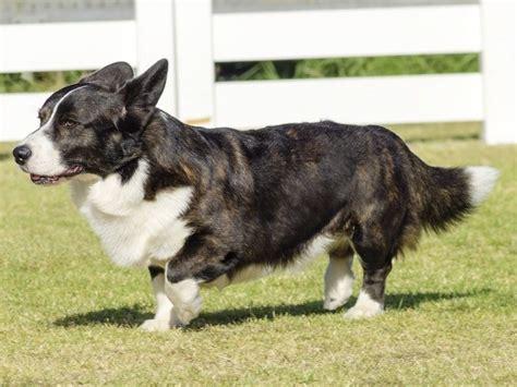 dachshund breeders  illinois freedoglistings