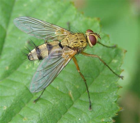 Dexiosoma Caninum Wikipedia