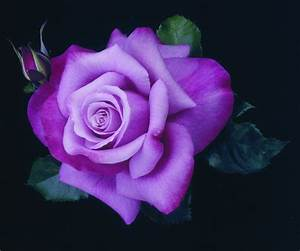 The gallery for --> Purple Rose Flower Pictures