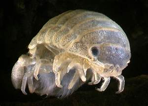 Estuarine isopods | Isopods | Manaaki Whenua - Landcare ...