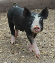 Heritage Pig Breed Berkshire