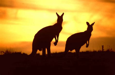 Sun Roo kangaroos images sunset and kangaroos hd wallpaper and
