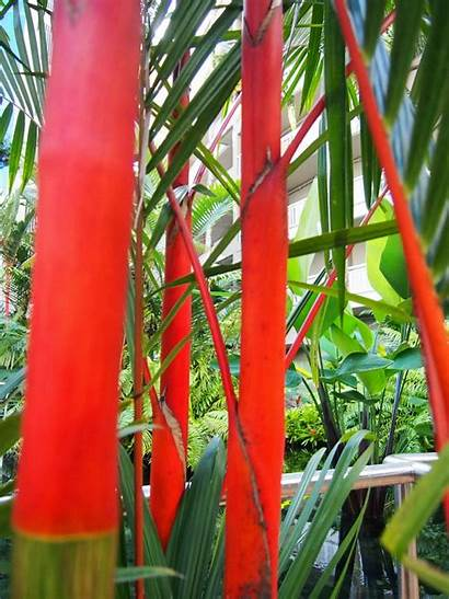 Tropical Plants Cairns Lipstick Palms Around Enchanting