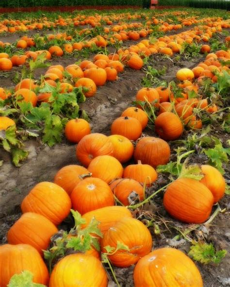 Priddy Farms Pumpkin Patch Memphis Tn by Around Memphis Local Pumpkin Patches