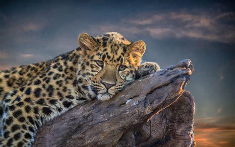 leopard backgrounds pixelstalknet