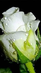 Langage Des Fleurs Pivoine : pingl par scrap voyages nature sur beautiful flowers belles fleurs fleurs roses blanches ~ Melissatoandfro.com Idées de Décoration
