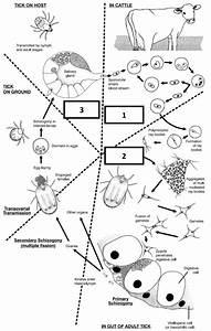 The Life Cycle Of Babesia Bigemina In Cattle And In The