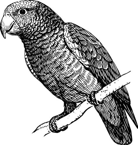 parrot clipart black and white parrot and macaw clipart animals clip