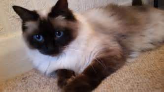 ragdoll cats for ragdoll cat for chesterfield derbyshire pets4homes