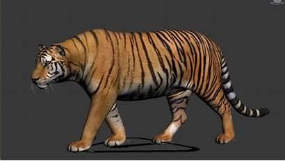 Tiger 3d Max Cgtrader Animated Stil Cz